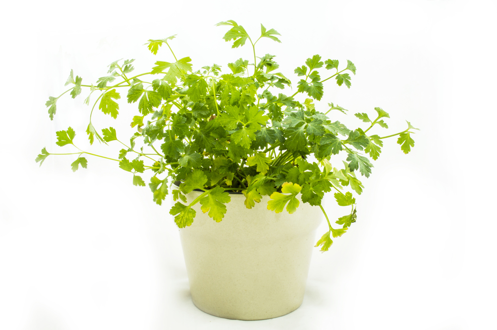 parsley-as-one-of-the-home-remedies-for-uti